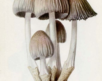 ANTIQUE MUSHROOM Double-Sided Book Plate Ink Coprinus and Abortive Clitopilus  New York State Museum Handbook 1935
