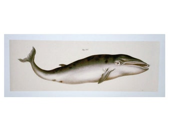 BLUE WHALE PRINT - modern digital print of an image from 1824 - marine beach ocean art