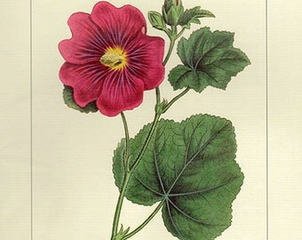 Vintage HOLLYHOCK Botanical Print Antique Flowers, 4 red plant print botanical lithograph print bookplate wall art print flower plants