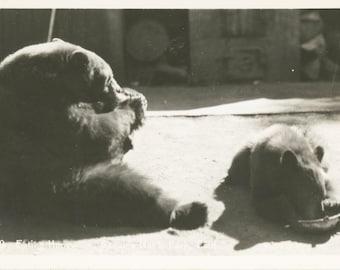 Bears Eating Honey - Sequoia National Park, California  1930-1950
