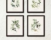 Antique Olive Prints, Botanical Print Sets, Botanical Prints, Kitchen Art, French Decor, Canvas Art, Botanical Illustration, Wall Art, Print