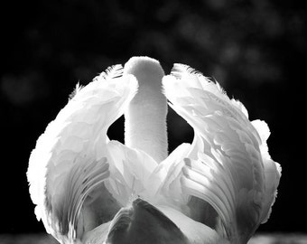 Archival Mounted Wildlife Photograph. Delicate Bird Wings. Swan Feathers Photography Print
