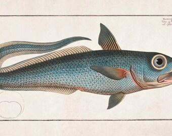 "Marcus Elieser Bloch Natural History Plate : ""The Roundnose Grenadier (Macrourus rupestris)"" - Giclee Fine Art Print"