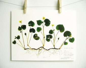 Yellow Stream Violet Print, #73, pressed flower art viola plant with roots scientific art print herbarium specimen art pressed botanical art
