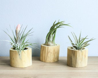 Set of 3 Driftwood Air Plant Containers with Custom Air Plants - Fast FREE Shipping - 30 Day Guarantee - Air Plant Holder