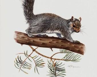 1961 Lovely vintage squirrel print, grey squirrel