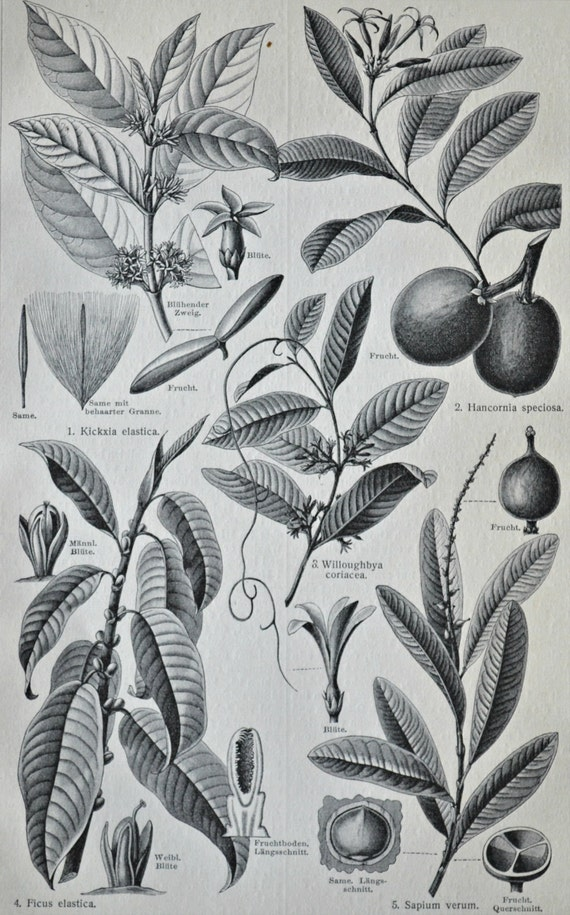 Rubber plants engraving. Old book plate, 1904. Antique  illustration. 111 years lithograph. 9'6 x 6'2 inches.