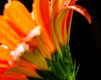 Orange Home Decor.Orange Gerbera Daisy.Flower.Water Droplets.Bokeh.Garden Art.Botanical Print.Country Decor.Macro.Fine Art Photography.