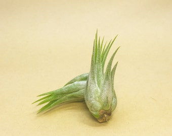 Tillandsia Ionantha Scaposa Air Plant (small) // Hello Tilly Airplant