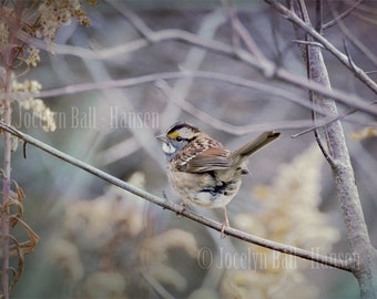 Bird Photo, White Throated Sparrow Archival Fine Art Photo Print, Muted Color Nature Photo, Retro Effect Photo Print, Bird Wall Art