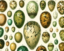 1897 Antique EGGS Print - Larousse - Easter Eggs - Bird Eggs - Butterfly Eggs - Large Size - 115 Years Old - Wall Art