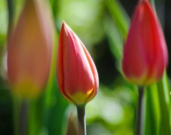 Spring Flowers Botanical Gardens Tulips Print
