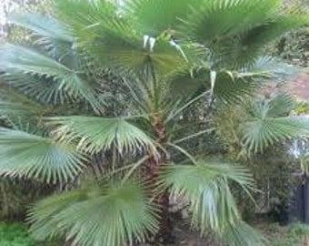 Saw Palmetto Tree Seeds, Organic, Serenoa repens a.k.a. Sabal serrulatum, Palm Tree, Medicinal Herb, Used as Tea, Houseplant