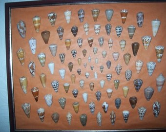Large Shell Collection