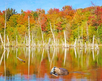 Wildlife Art Print, Nature Art Print, North American Beavers, Beaver Pond, Fall Foliage, Autumn Lake, Water Reflection, Fine Art Photography