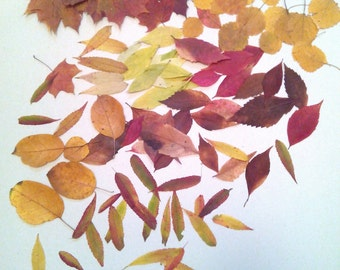 Fall leaves, lot of autumn leaves 100 pcs, real pressed leaves, flat leaves
