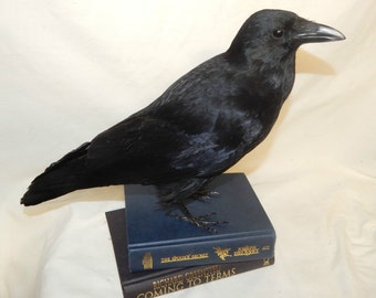 Taxidermy crow on two new books , ready now , No waiting