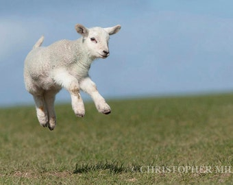 Spring Lamb by Christopher Mills - A4, A3 or A2 Fine Art Photographic Print of lamb | Nature Photography - Farm Animals/Sheep/Lambs