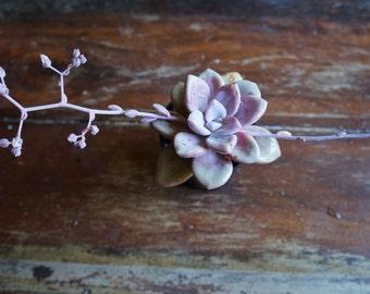 Graptoveria Succulent Plant