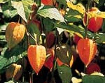 Chinese Lantern - Physalis alkekengi - 20 Seeds