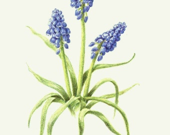 Muscari, grape hyacinth, 8 x 10 botanical art print, colored pencil