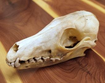 Fox Skull, taxidermy, fox, curio