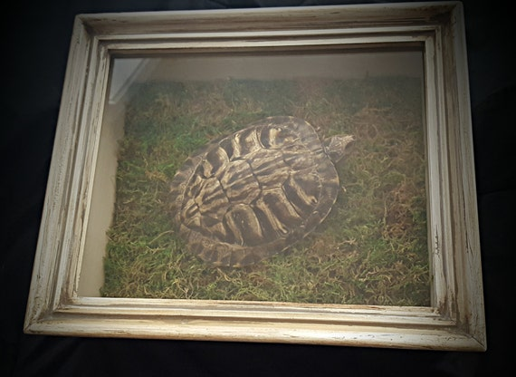 Oliver - Mummified Box Turtle Shadow Box Dry Preserved Specimen Taxidermy Terrarium One Of A Kind Morbid Gift
