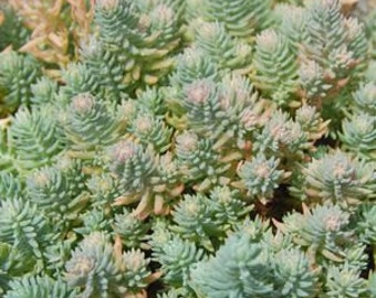 Sedum reflexum 'Blue Spruce'