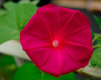 Scarlett O'hara Morning Glory (40, 80, 160 seeds) ipomea scarlet ohara red #122