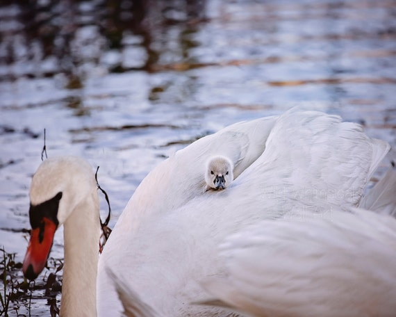 Baby Swan On Mothers Back Swan And Cynget By Abitofwhimsyshop
