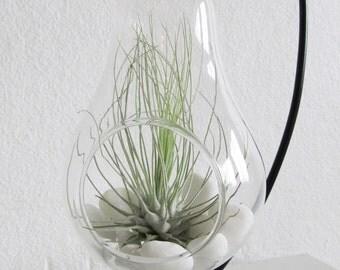 Light bulb terrarium with Fuchsii var. Gracillis