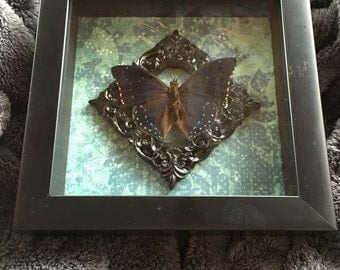 Butterfly Oddity Mounted in Shadowbox