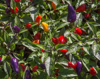 Rainbow Peppers:  Botanical art photography prints for home or office wall decor.