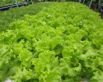 3 Grams Lettuce Seeds Vegetable Cultivate Seeds