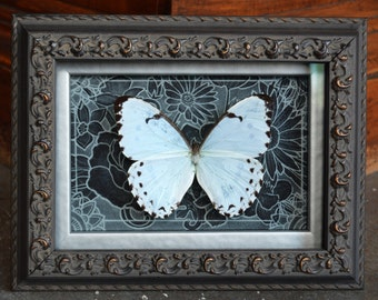 White Morpho (Caternaria) Butterfly Shadow Box Framed Insect Art