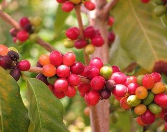 Coffea Arabica NANA Seeds (Arabian Coffee Seeds) 1 g  best before 2018