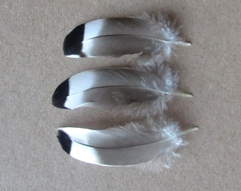 Mallard Duck Feathers