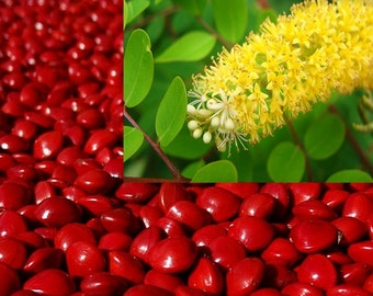 Adenanthera Pavonina 10 Seeds, Red Sandalwood, Saga Seed, Coral Tree Craft Beads