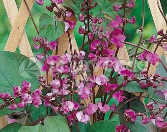 Lablab Purpureus 10 Seeds, Hyacinth Bean, Dolichos Perennial Medicinal Edible Vine