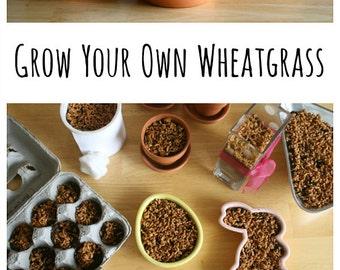 750 ++ Wheat Grass Seeds Growing Kit Set