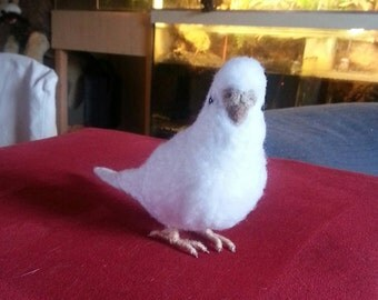 White felted Budgerigar