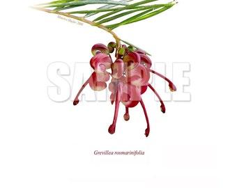 041 Rosemary Grevillea (Grevillea rosmarinifolia)