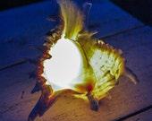 Sea-shell Lamp / Nautical and Beach Light / Nightlight Lamp / Table decor / Bedroom Decor Lamps / Murex