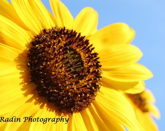 Bright Yellow Sunflower with Blue sky background close up photo- wall art/ home decor / kitchen - Bathroom- Bedroom decor