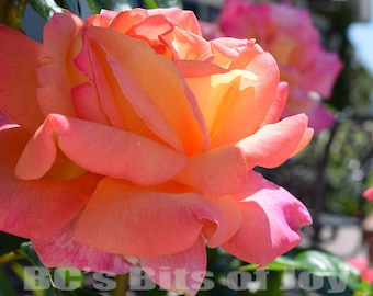 20x30 inches: Rose Photography