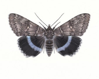 Catocala fraxinii - Blue Underwing A5 print