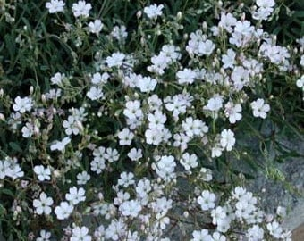 White Baby's Breath Repens Gypsophila Flower Seeds/Annual  100+