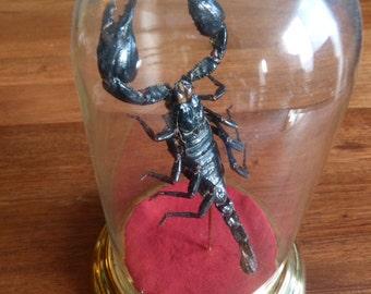 Scorpion under Bell glass