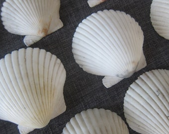 Seashells- SCALLOP shells- Cream color-Beautiful! -Shells, Coastal Decor, Beach Decor, Nautical Decor, Florida