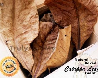 50 grams grade A+ Best giant Indian Almond Catappa Ketapang Leaves aquarium